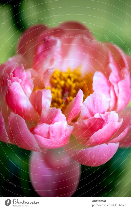 Close-up of a peony, lush pink Peony Nature peonies Pentecost flowers Balcony Plant Growth Summer Beauty & Beauty Macro (Extreme close-up) bleed Blossoming