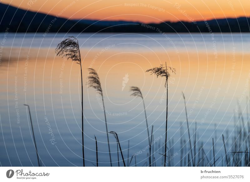 Reed on the lake shore in the evening light Common Reed reed Aquatic plant Lake Water Nature Plant Deserted Landscape Lakeside Calm Sky Reflection Idyll Dusk