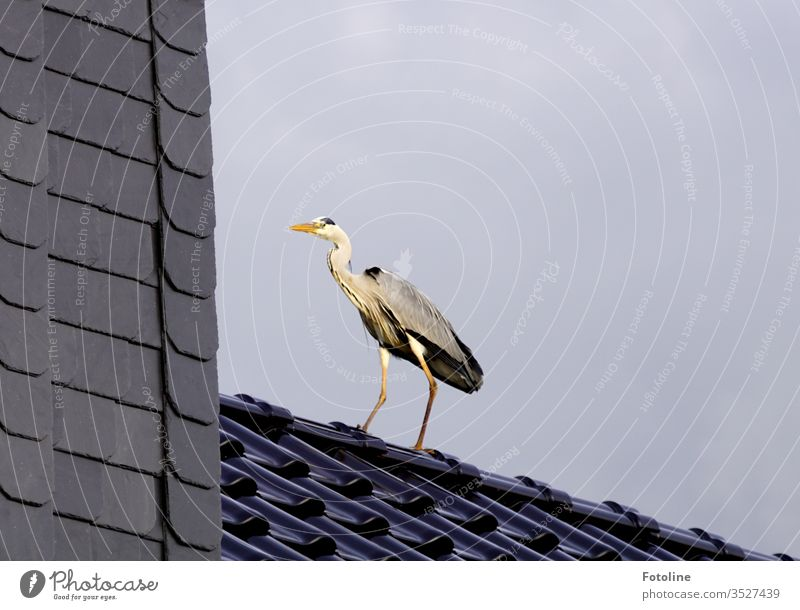 Entrance door not found - or a grey heron that has landed on our roof Heron Grey heron birds Animal Exterior shot Nature Day Colour photo 1 Deserted Wild animal