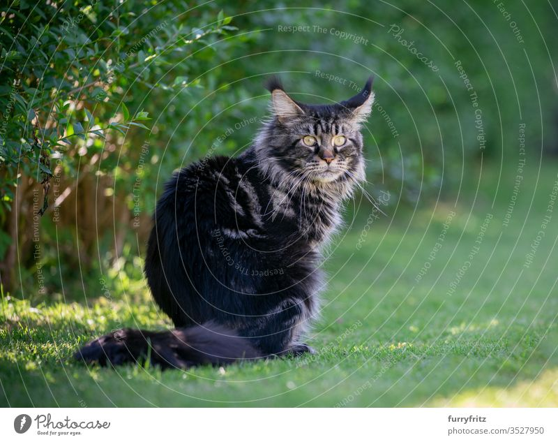Tabby Maine Coon cat sitting in the garden next to a hedge Cat pets Outdoors Nature Botany green Lawn Meadow Grass sunny Sunlight Summer spring purebred cat
