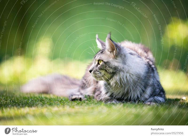 Maine Coon cat, looking to the side in the garden Cat pets Outdoors Nature Botany green Lawn Meadow Grass sunny Sunlight Summer spring purebred cat