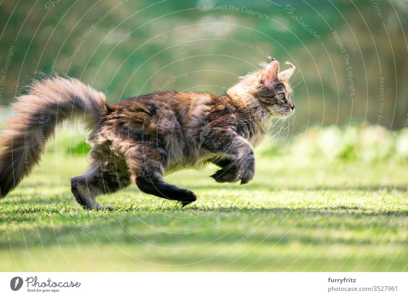 Side view of a young playful Maine Coon cat running through the garden Cat pets Outdoors Nature Botany green Lawn Meadow Grass sunny Sunlight Summer spring
