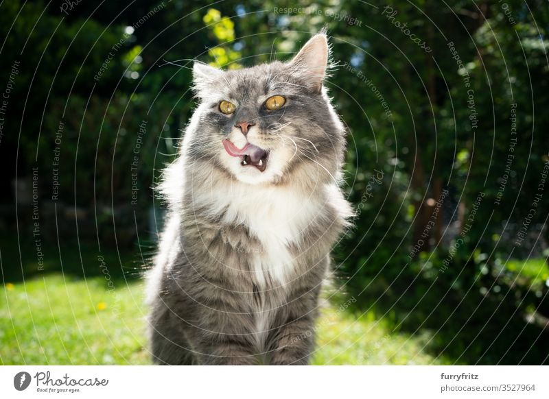 Maine Coon cat is hungry and licks his lips Cat pets Outdoors Nature Botany green Lawn Meadow Grass sunny Sunlight Summer spring purebred cat Longhaired cat