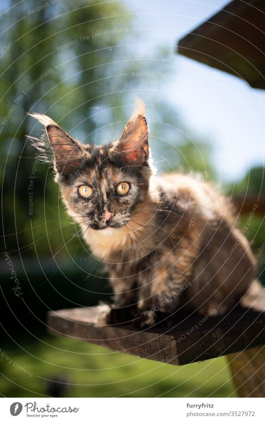 cute tortie Maine Coon kitten sitting on a scratching post outside and looking into the camera Cat pets Outdoors Nature Botany green Lawn Meadow Grass sunny