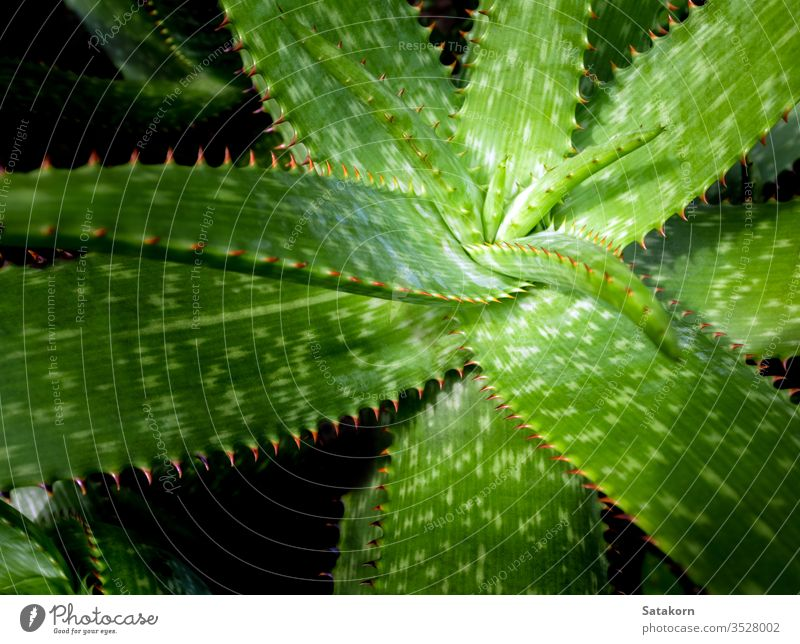 Succulent plant close-up, fresh leaves detail of Aloe plant succulent aloe thorn leaf green red beautiful nature spines natural grow decoration closeup garden