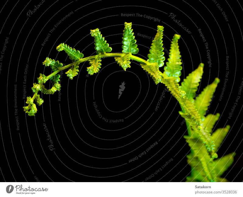 Freshness Fern leaf on black background fern green fresh isolated nature plant dark closeup light bright vivid life tropical rainforest foliage biology