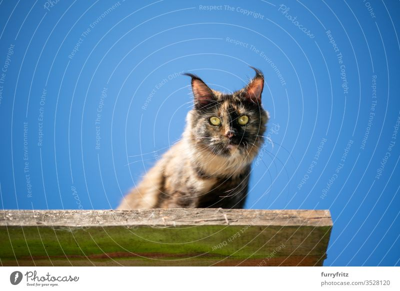 tortie maine coon cat sitting on an elevated outdoor viewing point in front of a clear blue sky looking down Cat pets Outdoors Nature Botany Blue Clear sky
