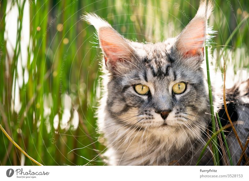 Maine Coon cat between high grass in nature Cat pets Outdoors Nature Botany green Grass sunny Sunlight Summer spring purebred cat Longhaired cat Pelt Fluffy