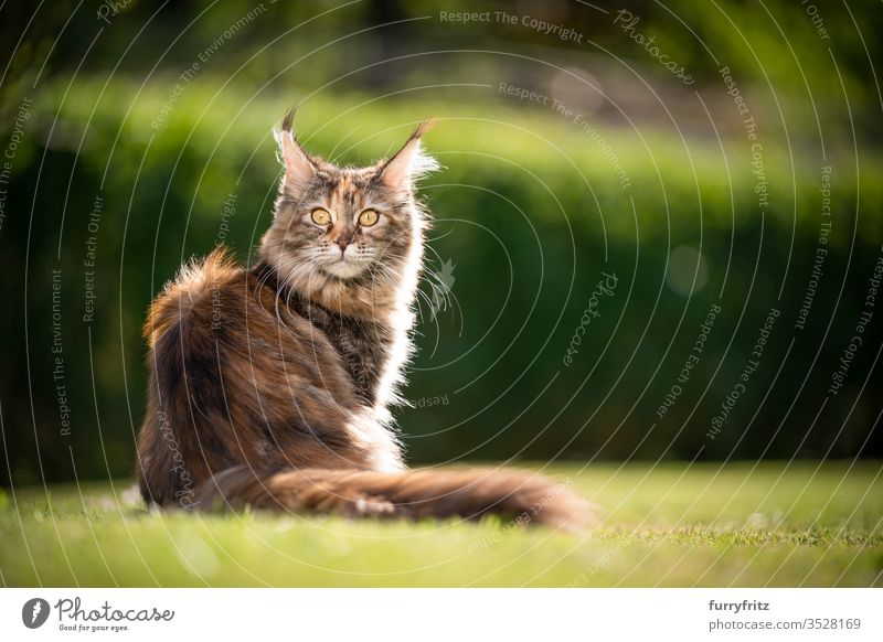 Portrait of a young Maine Coon cat sitting in a sunny, windy garden Cat pets Outdoors Nature Botany green Lawn Meadow Grass Sunlight Summer spring purebred cat