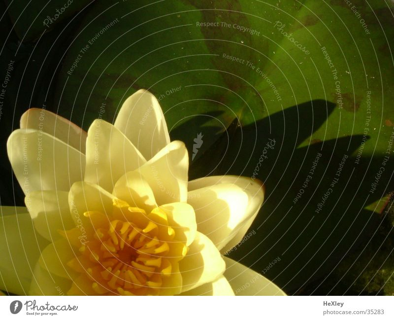 water lily Water lily Blossom Yellow water plantain
