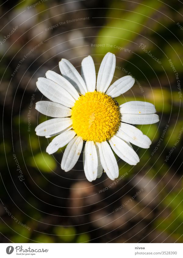 Daisy close-up Flower White Plant Meadow Spring Nature Green Blossom Grass Garden Colour photo Blossoming Yellow Lawn Exterior shot Beautiful Deserted Close-up