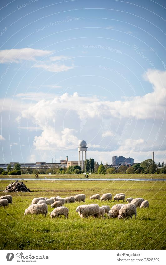 Flock of sheep on the Tempelhofer Feld Hiking Spring fever Light (Natural Phenomenon) Panorama (View) Structures and shapes Sunbeam Environmental protection