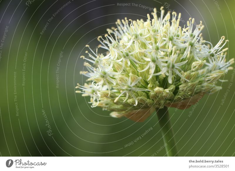 Allium white allium ornamental garlic White green Day Sunlight bleed Plant flowers Nature Garden Colour photo Exterior shot Blossoming already spring Close-up