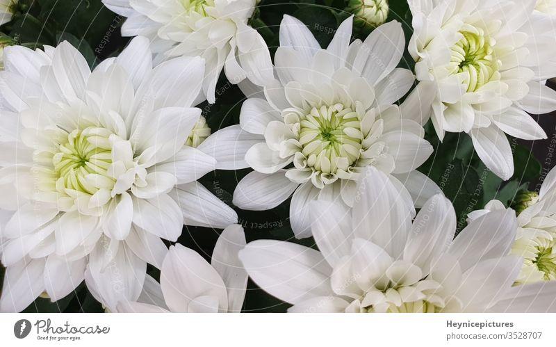 white chrysanthemum flowers pink bouquet daisy blossom beauty yellow floral garden schedules beautiful bloom petal petals jump macro chrysanthemums green buzzer