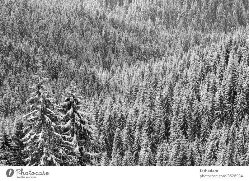Pine forest at winter in sunlight in black and white Forest Forestry pine tree pine forest Mountain Tree Winter winter landscape Winter mood Seasons Austria