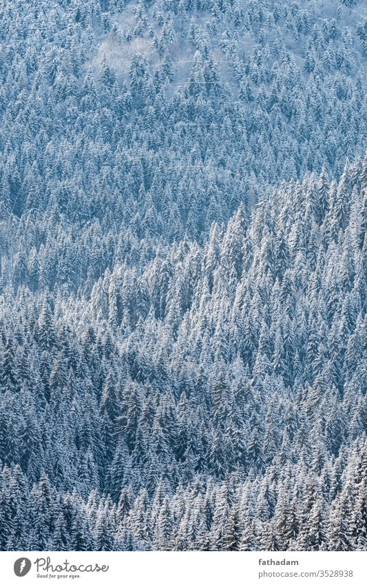 Pine forest at winter in sunlight Forest Forestry pine tree pine forest Mountain Tree Winter winter landscape Winter mood Seasons Austria Snow Snowfall Weather