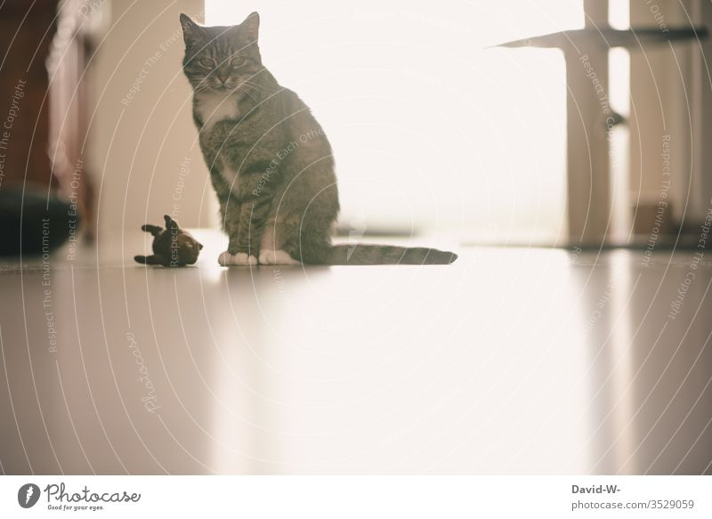 Domestic cat with toy Cat Toys Mouse Cuddly toy Observe Sit sedentary attention hall hall hall see Observing cat monitoring tranquillity Light reflection