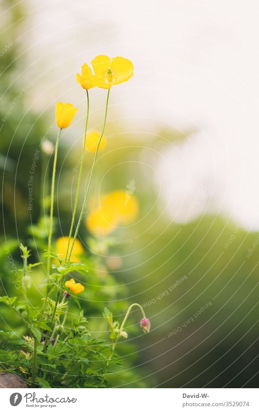 yellow poppy poppy seed Poppy wax Nature Copy Space top green Yellow already Delicate uncontrolled growth Deep depth of field Lovely variegated colourful