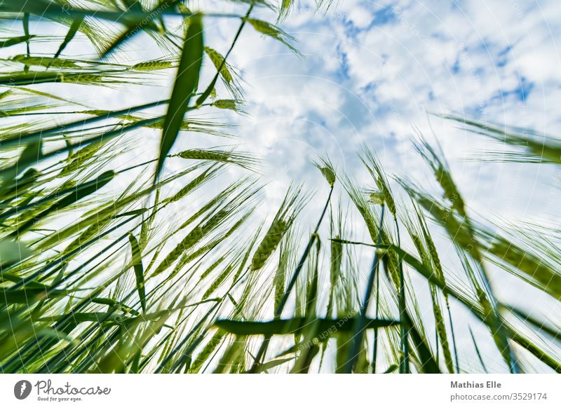 Young wheat plants grain Grain green Wheat Field Sky Blue Clouds Extend Nature Growth stedded Summer Nutrition Organic produce Vegetarian diet Cornfield