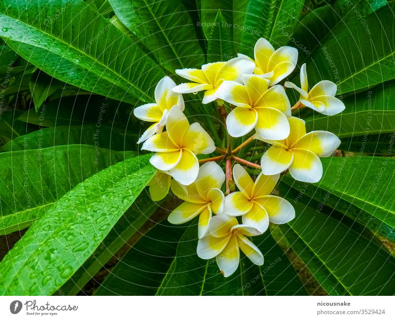 Frangipani flower near Hue Citadel, Hue, Vietnam floral aquatic asia asian background beautiful beauty bloom blooming blossom botany china closeup environment