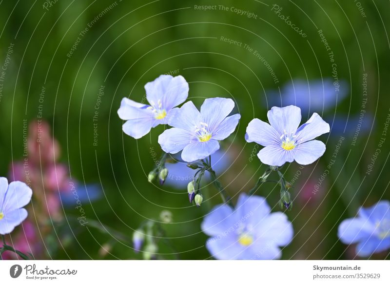 Real linen Blue linen flower Flax lineage linflower blue canvas flowers Plant bleed Nature Field Meadow acre Agriculture Sustainability Garden