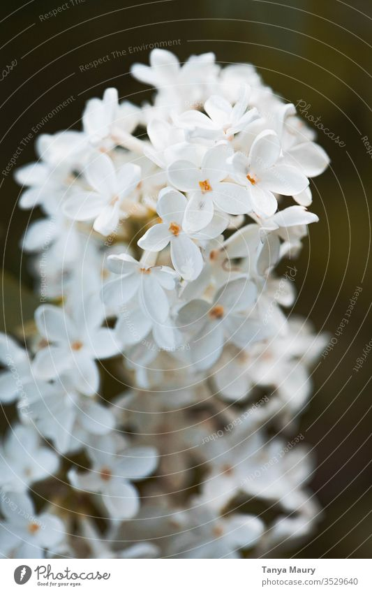 Closeup of white flowers White Blossom Flower Colour photo Frost Spring fever Close-up Detail botanical blooming Spring flowering plant Natural Bouquet Fresh