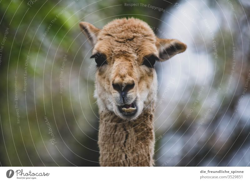 Funny Guanaco Alpaca guanaco Looking Goofy Teeth Chew Blur Animal Exterior shot Animal portrait Day Farm animal Looking into the camera Nature Animal face Llama
