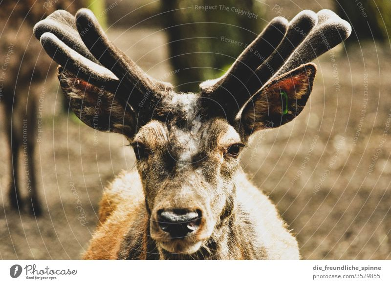 View Reindeer stag antlers Looking Animal Nature Exterior shot Deer Tourism Forest Landscape Mammal horns Wild animal world natural Grass Wilderness Buck Brown