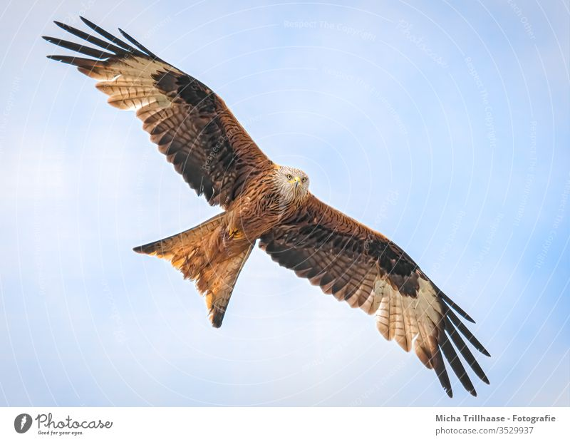 Red Kite in flight Red kite milvus milvus Bird of prey Head Beak Eyes Grand piano feathers plumage Sky Wing span flapping Flying Circle birds Wild bird Animal