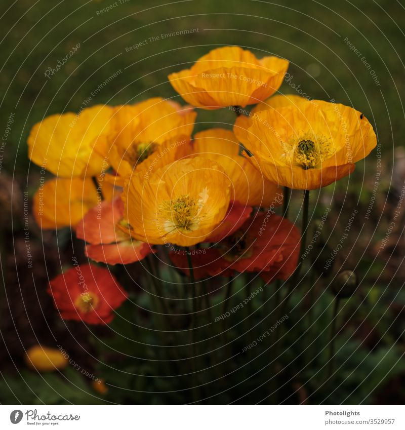 Yellow and orange poppies Poppy poppy flower Forest Meadow Nature Environment Field luminescent orange green flowers Plant Poppy blossom Exterior shot