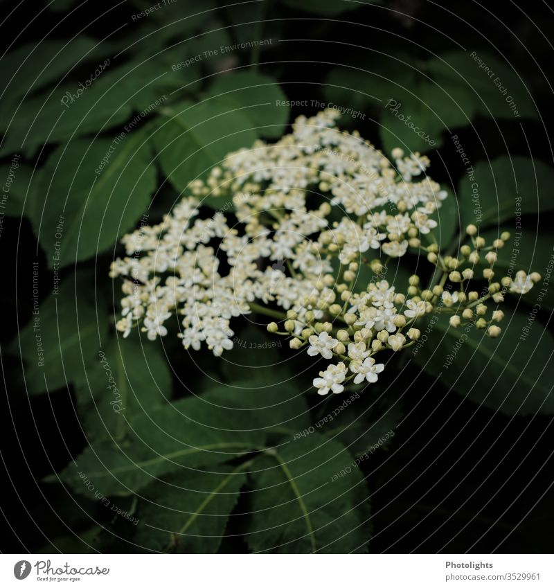 Elderflower spring Nature bleed White Fragrance Day Blossoming Close-up Colour photo Shallow depth of field green Garden bushes holler flaked Exterior shot