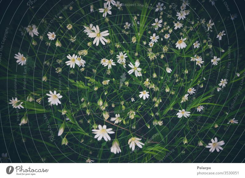 White anemone flowers seen from above white flower environment natural background blooming flower outdoors close-up wild meadow vegetation herbs marsh clearing