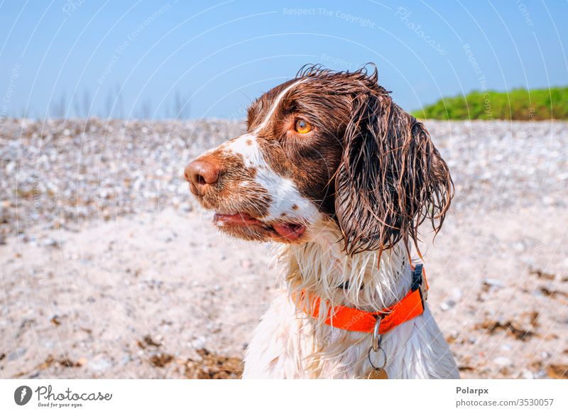 Springer spaniel dog with wet fur by a beach springer spaniel sand dogs forest park face adorable carnivore obedient gundog dirty outdoors staring hunting