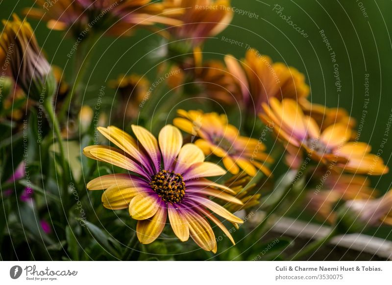 Ecklonis, Asteraceae, Osteospermum ecklonis, balcony plant, plant, asteraceae, yellow plant, spring plant in the garden flowers purple osteospermum ecklonis
