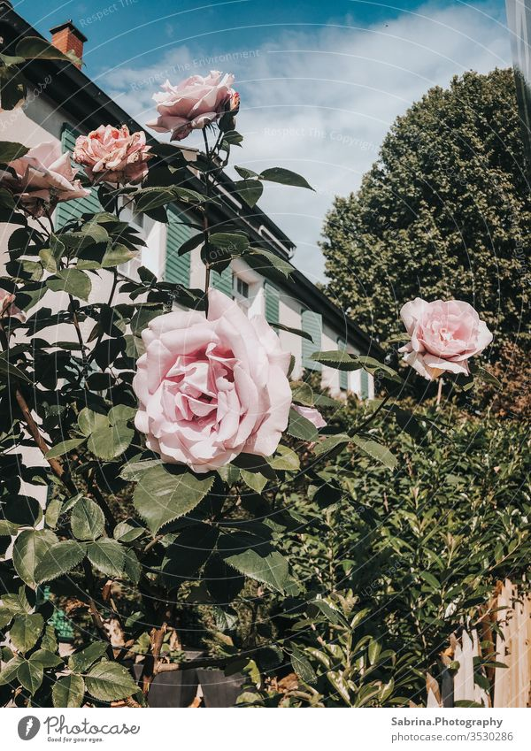 Roses in front of a house in the city centre on Mother's Day pink Rose plants flowers Exterior shot Pink vintage Ludwigshafen Rhineland-Palatinate Germany