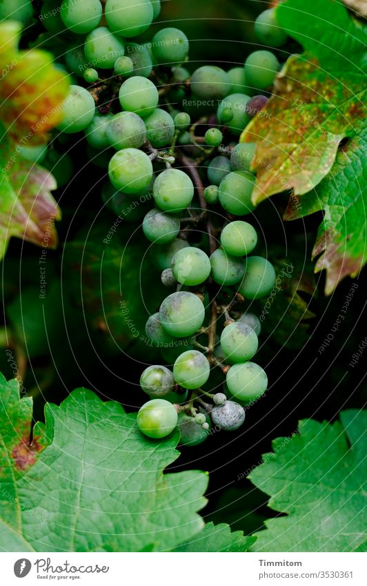 Vine, grape and grapes Bunch of grapes Grapes Nature Vineyard green fruit Wine growing Black