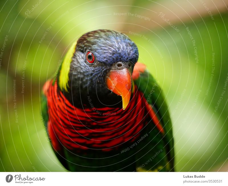 Closeup of a Colorful Lorikeet bird from Malaysia parrot lorikeet colorful rainbow animal beak green blue red nature tropical australia orange feather