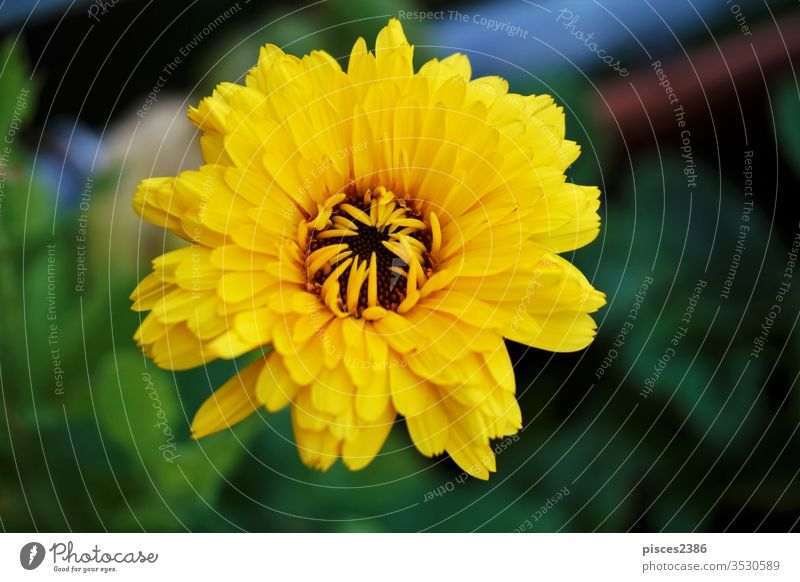 A yellow Calendula officinalis blossom in the garden flower nature summer leaf bright petal pollen growth outdoors horizontal color image no people plant colors