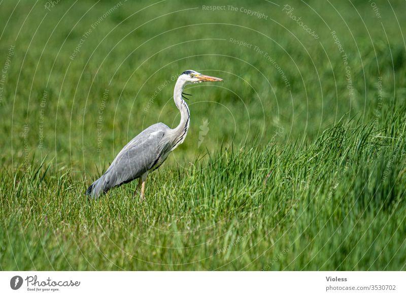 Grey heron on green meadow Heron herons Ardea cinerea birds telephoto fauna