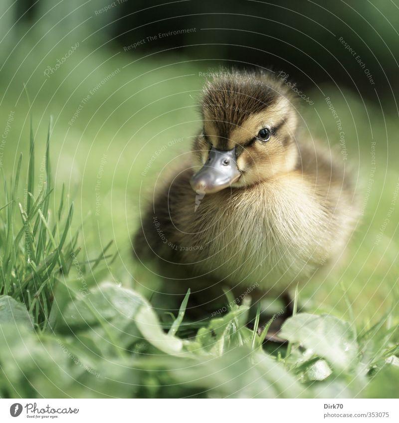 Standing on your own two feet ... Grass Leaf Meadow Animal Wild animal Bird Duck Mallard 1 Baby animal Observe Looking Brash Free Cuddly Curiosity Cute Brown