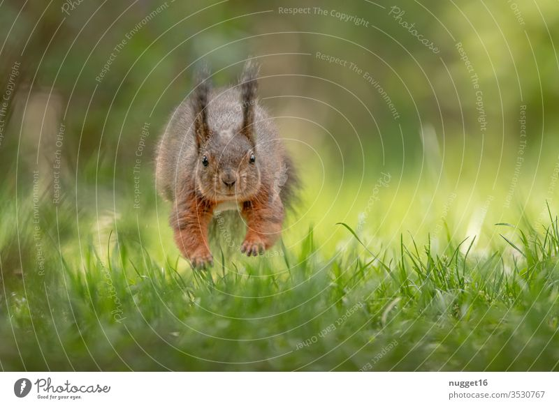 Squirrels jumping over the meadow Animal Colour photo Nature Exterior shot Wild animal Deserted Day Animal portrait Environment Shallow depth of field Brown