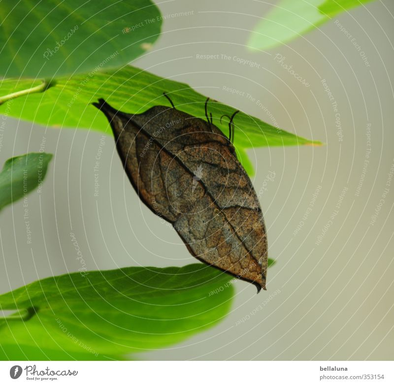 A leaf in the wind? Environment Nature Plant Animal Summer Leaf Foliage plant Wild plant Garden Park Wild animal Butterfly Wing 1 Sit Wait Brown Green
