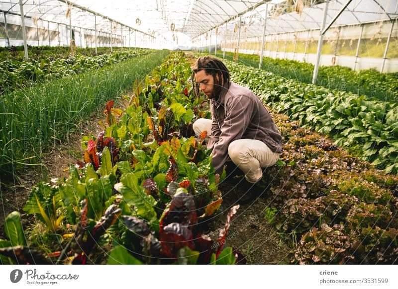 Young adult working in greenhouse picking fresh organic chard form field sustainability man produce garden farmer nature harvest male agriculture vegetable