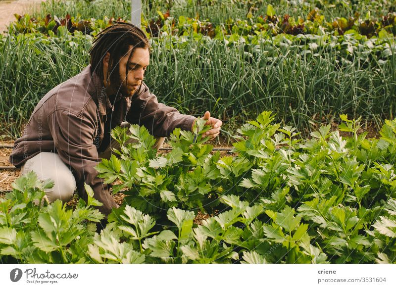 Young adult working in greenhouse picking fresh organic celery from field sustainability man produce garden farmer nature harvest male agriculture vegetable