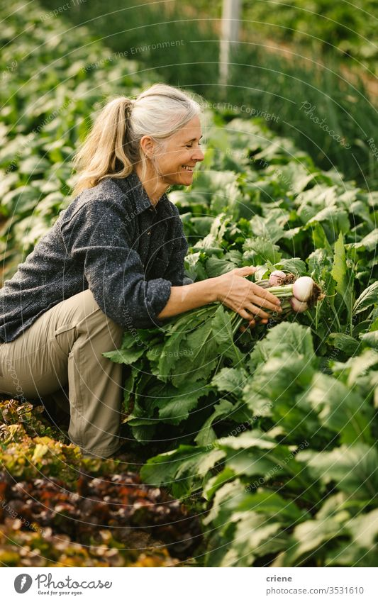 Senior farm worker picking organic turnips in greenhouse smile senior happy sustainability woman produce fresh garden farmer nature harvest agriculture