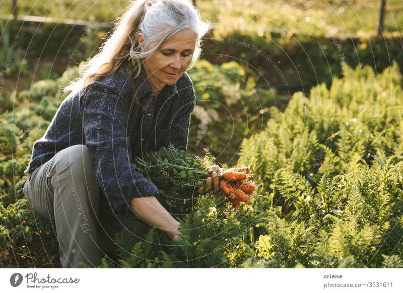caucasian senior woman picking fresh carrots from the garden smile happy sustainability produce farmer nature green harvest organic agriculture vegetable