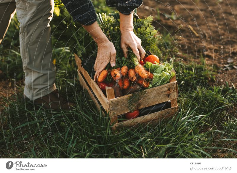Close-up of woman packing wooden box with freshly picked vegetebles on field carotts homegrown garden hands tomato crate sustainability produce farmer nature
