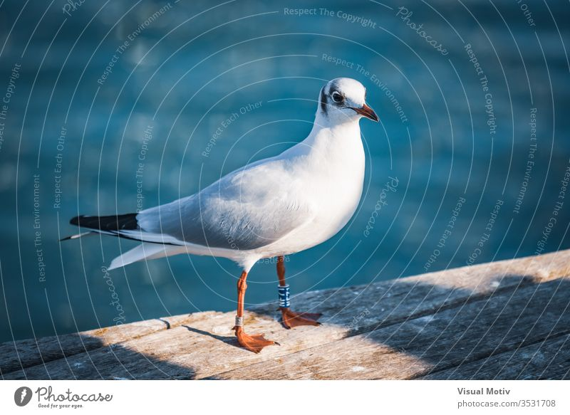 Small specimen of Black-headed gull in its winter plumage animal animals photography beach beak bird bird photography birds black headed black headed gull blue