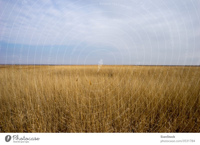 Golden wild wheat field with blue sky background golden nature grain summer landscape yellow plant sun harvest farm season rye rural agriculture country crop