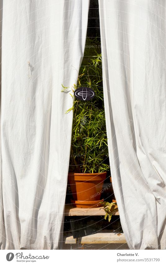 Stage-ready | indoor plant in the window, framed by light-coloured curtains, photographed from the outside. Houseplant drapes green Plant Decoration Flowerpot